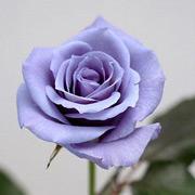 В Японии стартуют продажи настоящих синих роз